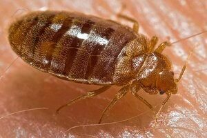 We at Golden Pest Solutions provide the Best Pest Control Services in Kolkata to remove Bed bug from your beds. Call now to get the best Bed bugs Control Service in Kolkata and nearby areas.