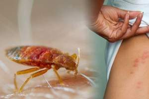 Bed bugs control in Kolkata by Golden Pest Solutions - one of the best Pest Control Service providers in Kolkata.