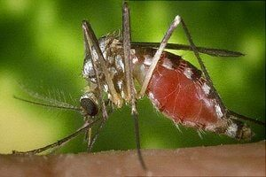 Mosquito Control. Best Pest Control Services in Kolkata, Howrah and nearby areas on Mosquito Control by Golden Pest Solutions.