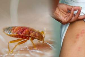 Bed Bug. Bed bugs control in Kolkata by Golden Pest Solutions - one of the best Pest Control Service providers in Kolkata.